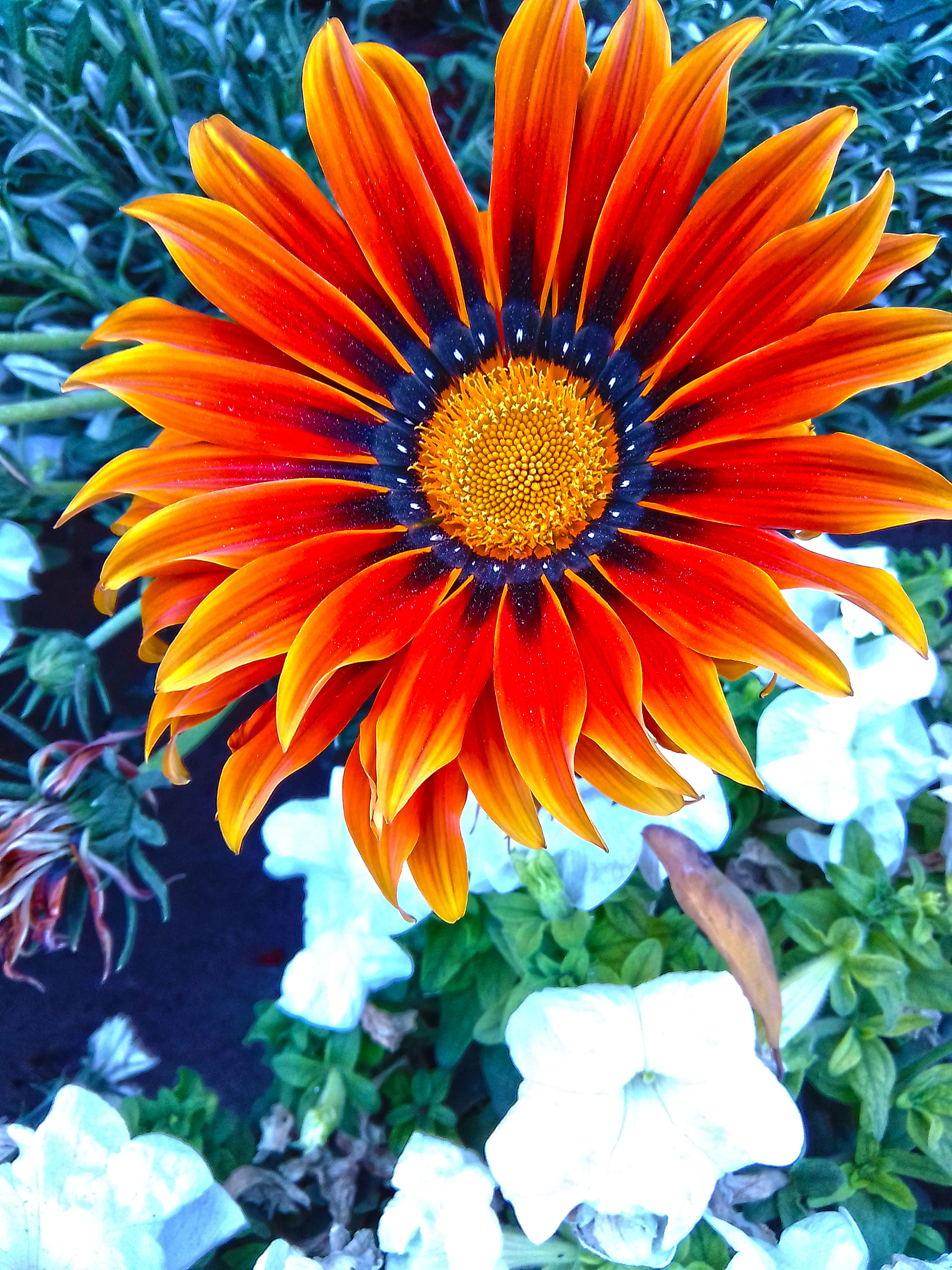 This is African Daisy Flower